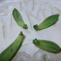 多肉植物 多肉🌿 赤ちゃん成長中😃 これで根が出た…