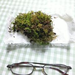 癒し/グリーン/苔 苔が届いたよー😃 グラスに入れて眺めるの…
