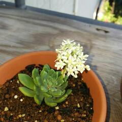 グリーン 多肉の花が咲きました。 可愛い💠 名前わ…(1枚目)