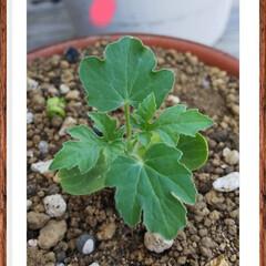 グリーン 孫が、だいぶ前に植えた種から育ったんだけ…(1枚目)