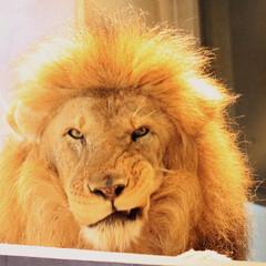 ライオン/オス/オスライオン/動物園/百獣の王 オスのライオン エサは取りに行かないし …