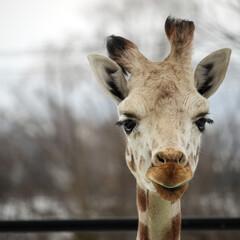 キリン/動物園/黄色/黒/茶色 この子すごく人懐っこいし 優しい目をして…
