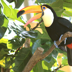 鳥/オオハシ/オニオオハシ/動物園/野鳥/黄色/... 大好きな鳥の写真です♪ オニオオハシ  …