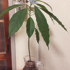観葉植物/セリア アボカドの種を観葉植物として育ててみまし…