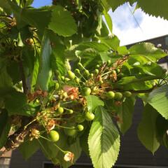 豊作/さくらんぼ/グリーン/スイーツ 今年も豊作の予感😆 夏が待ち遠しいよ😋