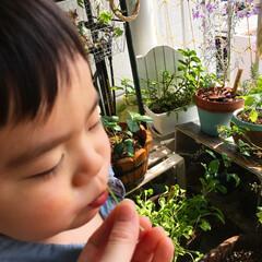 賃貸ベランダ/ベランダガーデニング/グリーン/子ども/ルッコラ 育てたルッコラを食べてみる🌱 葉っぱはな…