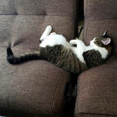 猫バカ/猫がいる暮らし/猫がいる生活/猫のいる生活/ねことの暮らし/ねこと暮らす/... 琥珀たんの寝かたの癖が強い(笑)  本当…