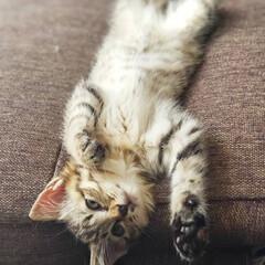 保護ネコ/保護ねこ/保護猫/猫と暮らす家/猫との生活/ねことの暮らし/... 初めてのへそ天(///ω///)♪  こ…(3枚目)