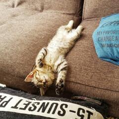 保護ネコ/保護ねこ/保護猫/猫と暮らす家/猫との生活/ねことの暮らし/... 初めてのへそ天(///ω///)♪  こ…(2枚目)