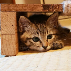 しずく/雫/保護ネコ/保護ねこ/保護猫/子猫を保護しました/... 家族が増えました(///ω///)♪  …(4枚目)