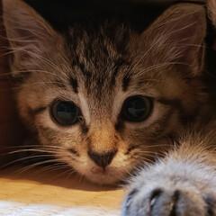 しずく/雫/保護ネコ/保護ねこ/保護猫/子猫を保護しました/... 家族が増えました(///ω///)♪  …(3枚目)
