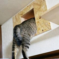 DIY/キャットトンネル/キャットウォーク/猫のいる暮らし/ねこ/ネコ/... 壁をぶっ壊してキャットトンネルとキャット…(4枚目)