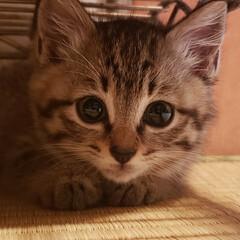 しずく/雫/保護ネコ/保護ねこ/保護猫/子猫を保護しました/... 家族が増えました(///ω///)♪  …(2枚目)