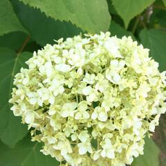 グリーン 大好きなアナベルが咲き始めた。