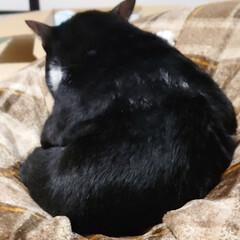 ネコ/猫好きさんと繋がりたい/ねこ部/フォロー大歓迎 アベルの背中がオットセイに見えた朝…(笑)