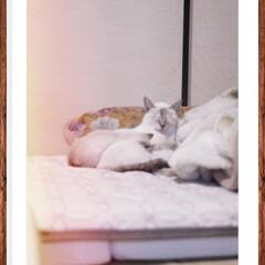 猫のいる生活/猫のいる暮らし/写真で伝えたい私の世界/写真で奏でる私の世界/カメラで奏でる私の世界/写真撮るのが好きな人と繋がりたい/... ミラーレスで撮影📷😸  まだまだミラーレ…