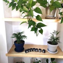 ポトス/階段棚/ジャーナルスタンダード/アクタス/観葉植物/グリーンインテリア/... 鉢を変えて衣替え♪外は怖いほどに暑いけど…