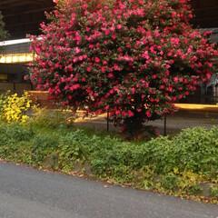 山茶花/夕焼け/散歩 こんばんは😃🌃 いつもの散歩コースに咲い…