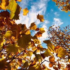 紅葉狩り/紅葉/秋 秋色に色付いた葉っぱたち🍁
