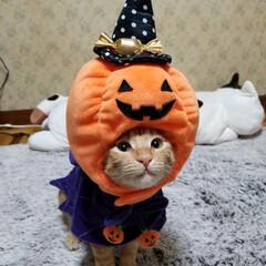 保護猫/ハロウィンドレス/魔女/かぼちゃ/コスプレ猫/ペット/...