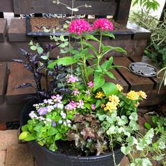 ガーデニング/マイガーデン 夏に向けて寄せ植えを作りました🌼 黒葉と…
