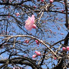 小さい春 ウチの庭にある枝垂れ桃の花です。 昨日よ…