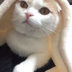 フォロー大歓迎/ペット/ペット仲間募集/猫/にゃんこ同好会 毛布の中からこんばんは😺 週末寒くなりそ…(1枚目)