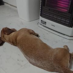 ストーブ前は特等席/寒いの嫌い/ゆきちスタイル/ワイヤーダックス/ペット/犬/... ゆきちさんはとても寒がりなので 冬はコタ…