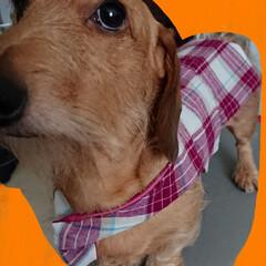 休日の過ごし方/犬服/ワイヤーダックス/手芸/ペット/犬/... ワイヤーダックスのゆきちは 市販の服では…