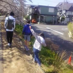 コンロ専用パネル/なっかん/春の一枚/プラスワンダー/アイカ工業/油跳ね防止パネル ~桜見散歩。~  今日は、長男・次男・長…