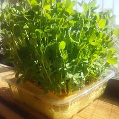 豆苗/晩御飯/食卓/寛容/観葉植物 ~寛容植物~  子供部屋窓際で豆苗を再生…(1枚目)