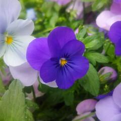 コンロ専用パネル/なっかん/春の一枚/プラスワンダー/アイカ工業/油跳ね防止パネル ~花って、ええなぁ~。~  花の名前は知…