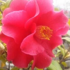 コンロ専用パネル/なっかん/プラスワンダー/油跳ね防止パネル/男の台所/キツチンパネル/... ~赤い花。~  真っ赤な花が咲いてる。 …