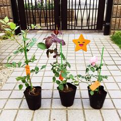 アンティークタイプ/ベルばら/グリーンパーク 今日グリーンパークで薔薇の苗を買ってきま…