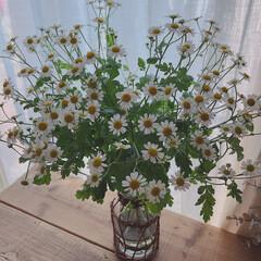 見て下さりありがとうございます♡/いいねありがとうございます♡/お花のある暮らし/マトリカリア/ライフスタイル/暮らし/... マトリカリアというお花を先週お花屋さんで…(1枚目)