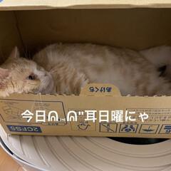 箱に引きこもり/動物大好き/猫大好き/こむぎ課長/せんぶちょ おはようございます♡  今日もせんぶちょ…(2枚目)