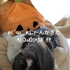 猫大好き/動物大好き/南瓜/せんぶちょ/こむぎ課長/👻🎃HAPPY HALLOWEEN🎃👻 👻🎃HAPPY HALLOWEEN🎃👻🎃…(7枚目)