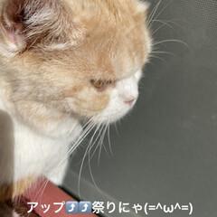 親バカ/猫バカ/猫好き/アップ⤴️⤴️⤴️祭り🏮👘✨/こむぎ/せん/... おはようございます(˙ᗜ˙) 今日はアッ…