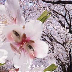 花/お友達待ち?/あじさい/桜/スコテッシュフォールド おはようございます(≧∇≦)/ 昨日は雨…(3枚目)