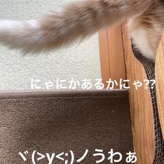 爪研ぎ/動物大好き/こむぎ おはようございます(ˊᗜˋ)  この爪研…
