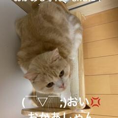 ご飯のせる台/動物大好き/猫大好き/スコティッシュフォールド/こむぎ/せんぶちょ おはようございます(*´∇`*)  ∑(…
