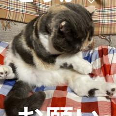 テレビ観てる?/猫大好き/スコティッシュフォールド/せん おはようございます٩(*´꒳`*)۶ 最…(5枚目)