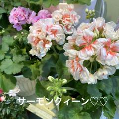 花/お友達待ち?/あじさい/桜/スコテッシュフォールド おはようございます(≧∇≦)/ 昨日は雨…(2枚目)