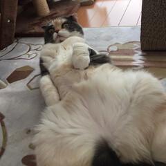 おっぴろげ/起こした/おやすみ/スコティッシュ/猫/令和の一枚/... おはようございます^^ 今朝少し寒いです…(2枚目)