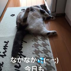 猫/こむぎ/せん/ゴロゴロ/いつもの体制/スコティッシュフォールド/... おはようございます☀ 今朝もお邪魔な場所…(2枚目)