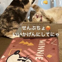動物大好き/猫大好き/スコティッシュフォールド/毎日の行事/ケンカ/バトル/... おはようございます♡ 今朝も相変わらず(…(4枚目)