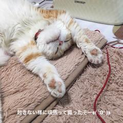 スコティッシュフォールド立ち耳/猫/バンザイ🙌/爆睡/うちの子ベストショット2019/ありがとう平成/... どんな夢見てるのかな? 宝くじでϵ( '…(2枚目)