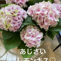 花/お友達待ち?/あじさい/桜/スコテッシュフォールド おはようございます(≧∇≦)/ 昨日は雨…(1枚目)