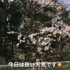 花見/桜🌸/フォロー大歓迎/ペット/猫 おはようございます☀ 今日も花粉が🤧 鼻…