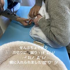 スコティッシュフォールド/こむぎ/爪切り/検診/抗生物質💉/動物病院/... おはようございます(ˊᗜˋ) 今日は病院…(3枚目)